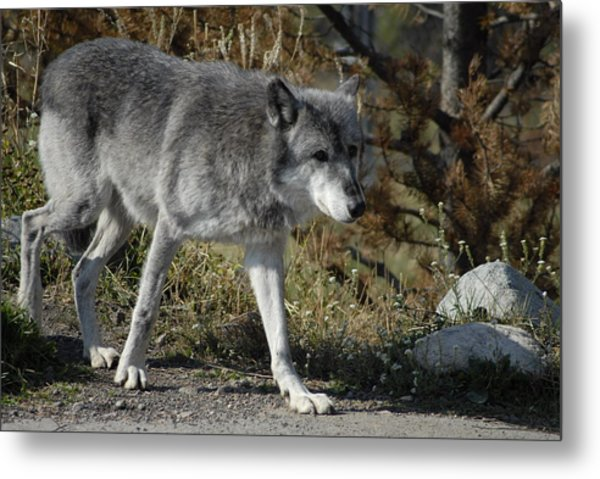Out For A Walk Metal Print by Curtis Gibson