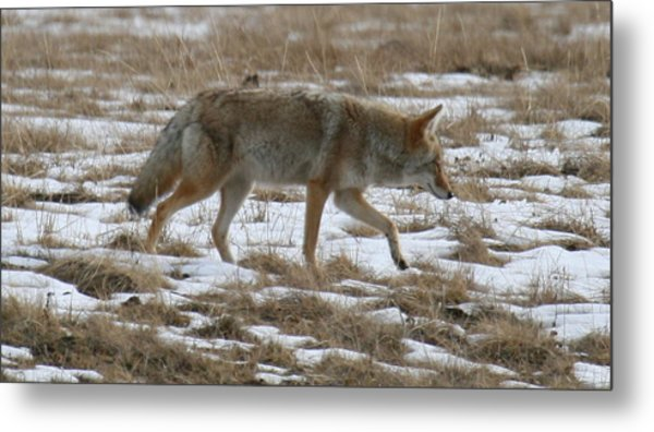 Out Looking For Dinner Metal Print by Robert Torkomian
