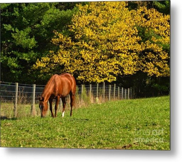 Out To Pasture Metal Print by Kathy Jennings