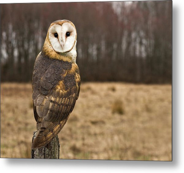Owl Looking At Camera Metal Print