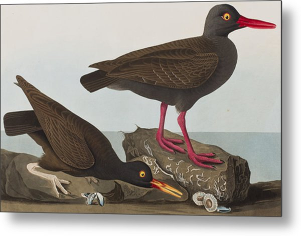 Oyster Catchers Metal Print