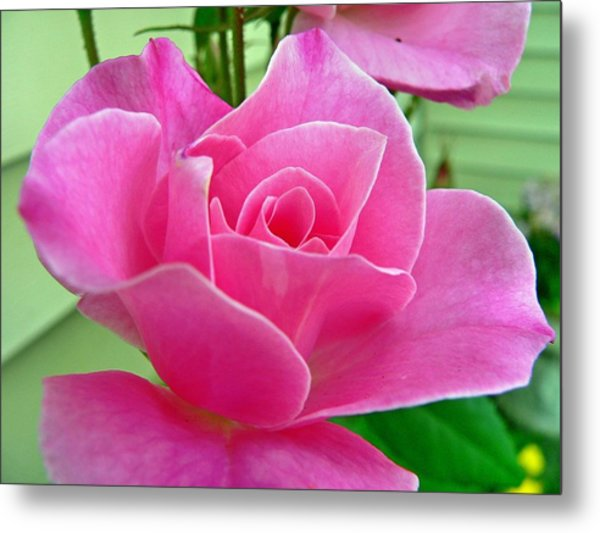 p1050202b  Pink Rose Metal Print by Ed Immar