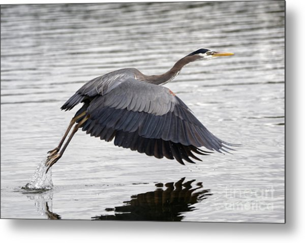 Pacific Great Blue Heron On Lift Off Metal Print