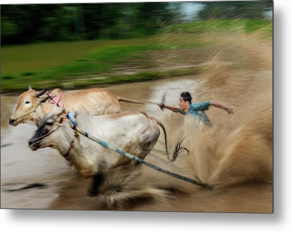 Metal Print featuring the photograph Pacu Jawi Bull Race Festival by Pradeep Raja Prints