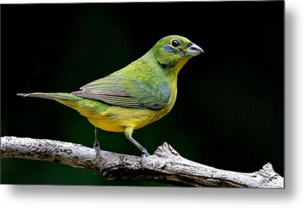 Painted Bunting - Second Year Male Metal Print