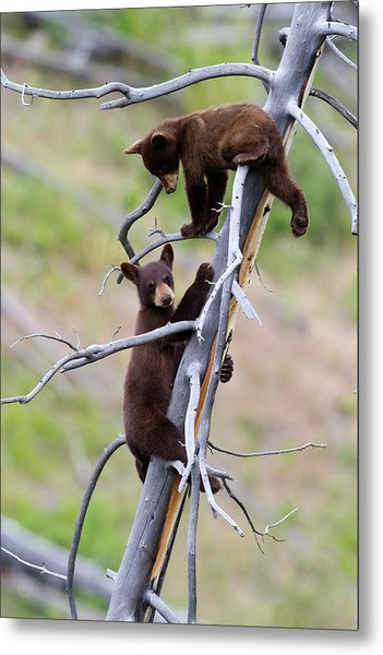 Pair Of Bear Cubs In A Tree Metal Print