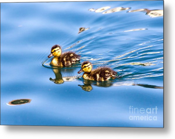 Metal Print featuring the photograph Duckling Duo by Kate Brown