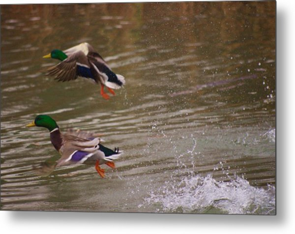 Pair Of Ducks Metal Print