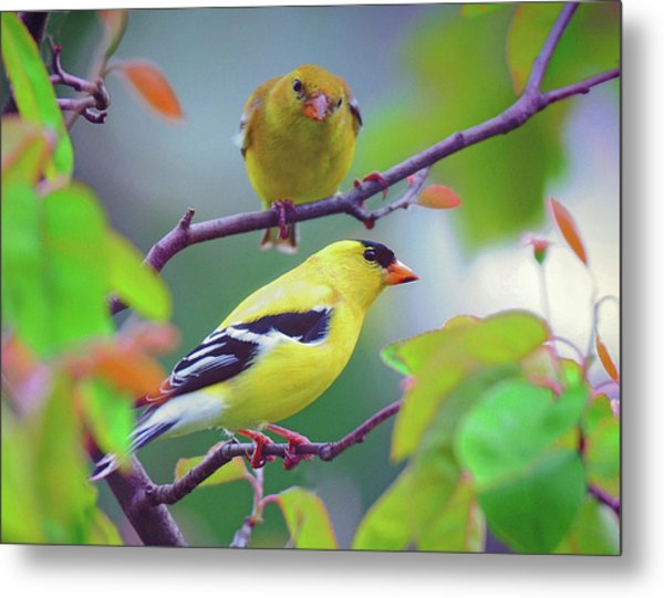 Pair Of Goldfinches Metal Print