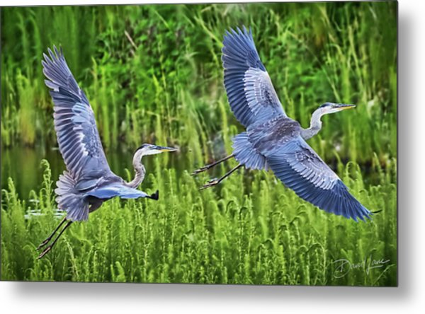Pair Of Great Blue Herons  Metal Print