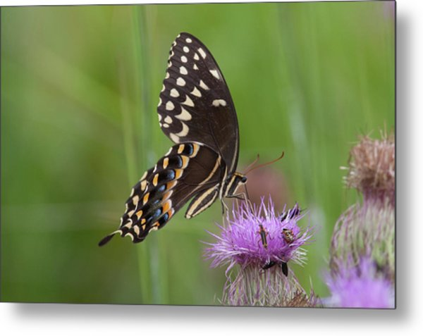 Palamedes Swallowtail And Friends Metal Print