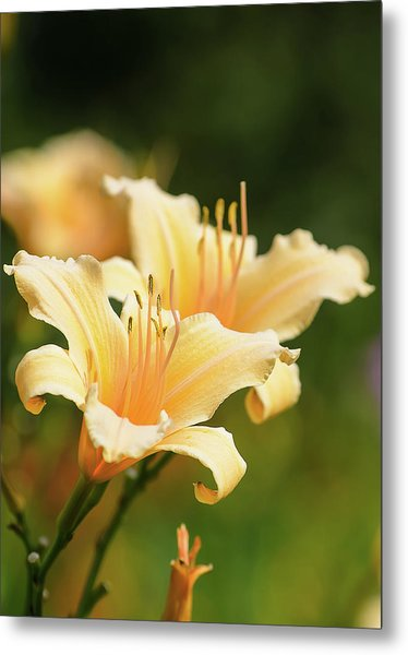 Pale Yellow Metal Print