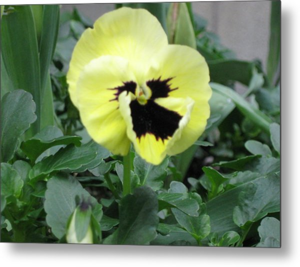 Metal Print featuring the photograph Pansy by AJ Brown