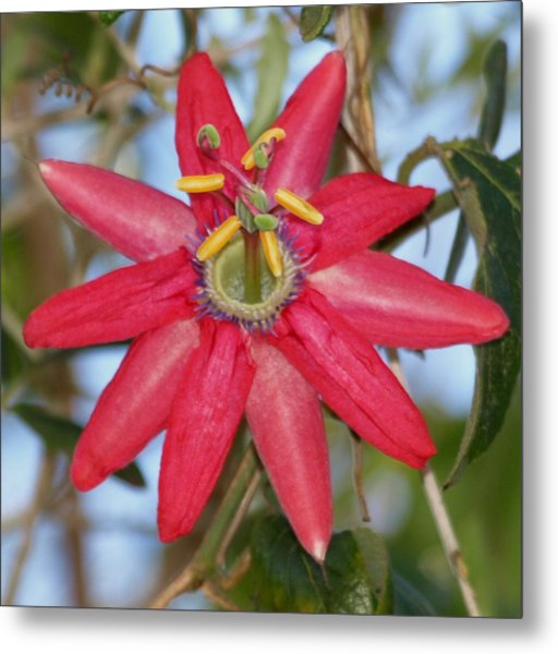 Passion Flower Metal Print by Laura Allenby