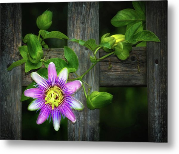 Passion Flower On The Fence Metal Print