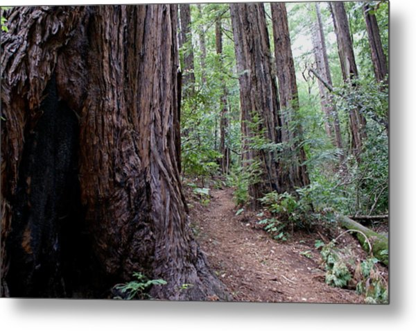 Pathway Through A Redwood Forest On Mt Tamalpais Metal Print