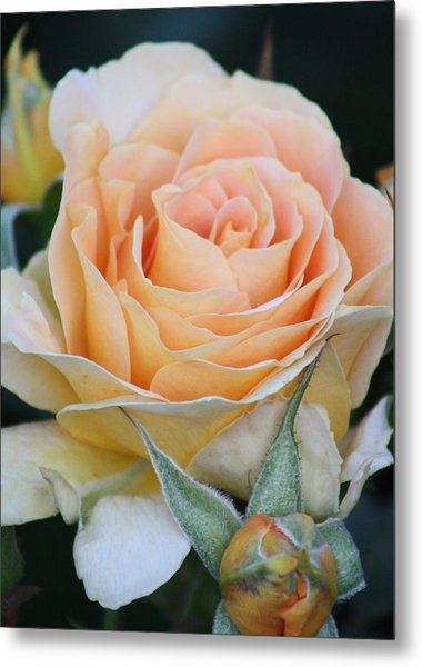 Peach Rose 2 Metal Print