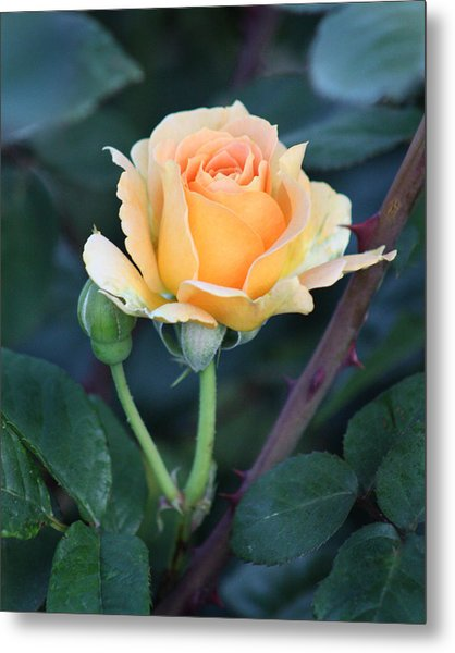 Peach Rose 3 Metal Print