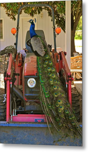 Peacock And His Ride Metal Print