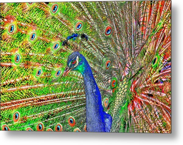 Peacock Fanned Tail Feathers Metal Print