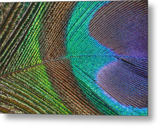 Peacock Feather Close Up Metal Print