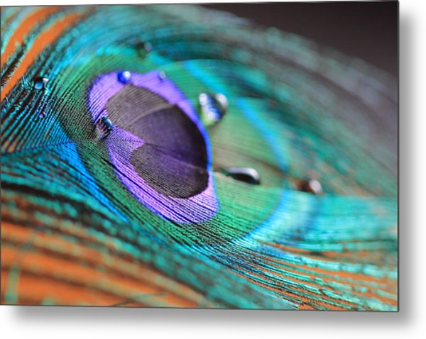 Peacock Feather With Water Drops Metal Print