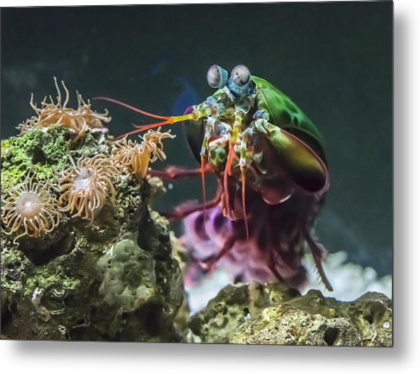 Peacock Mantis Shrimp Profile Metal Print