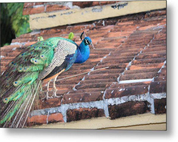 Peacock On Rooftop Metal Print