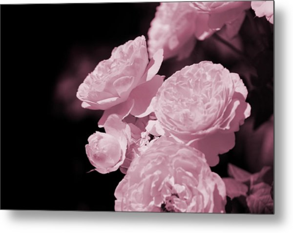 Peacock Pink Cabbage Roses On Black Metal Print
