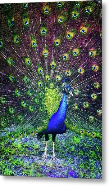 Peacock Series 9801 Metal Print