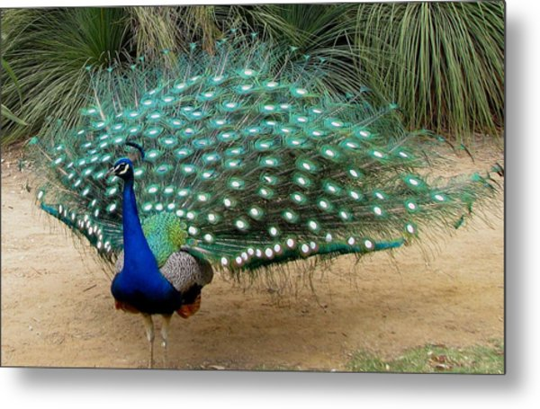 Peacock Showing All Feathers Metal Print