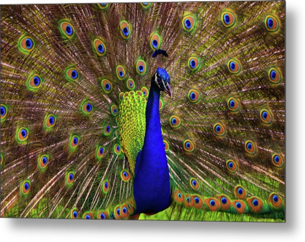 Peacock Showing Breeding Plumage In Jupiter, Florida Metal Print