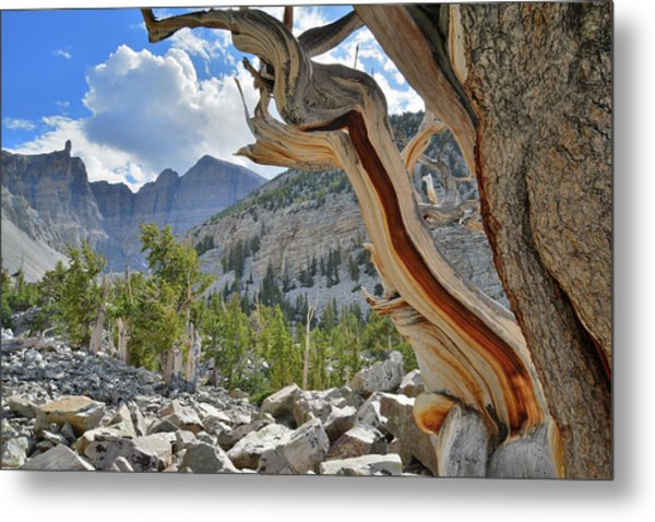 Peak Bristlecone Pine Metal Print