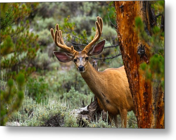 Peek A Boo Buck Metal Print