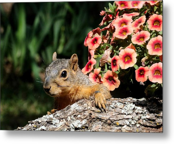 Peek-a-boo Squirrel Metal Print