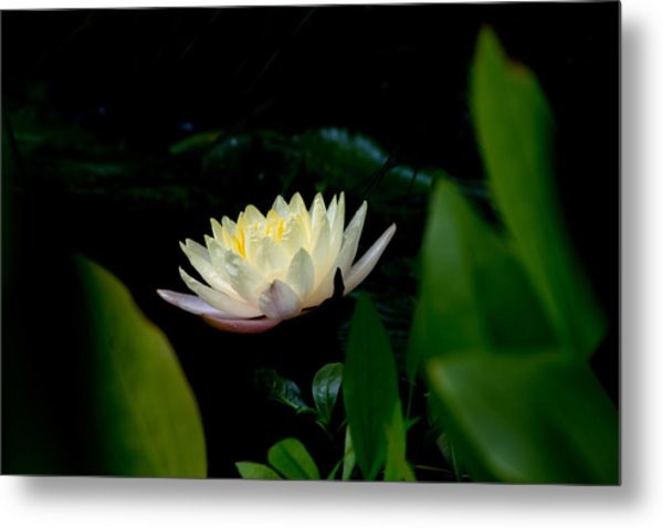Peekaboo Lemon Water Lily Metal Print