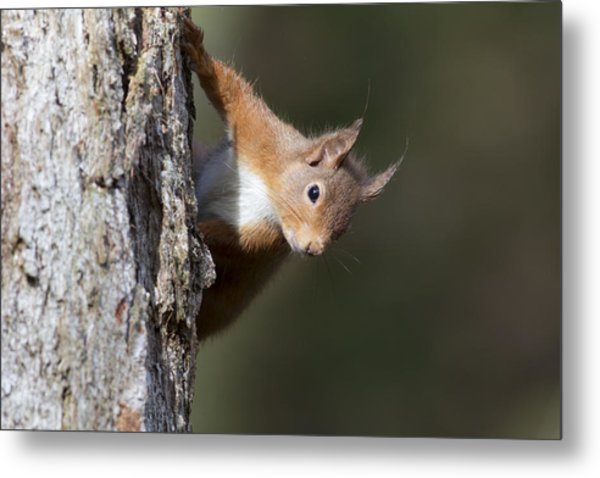 Peekaboo - Red Squirrel #29 Metal Print