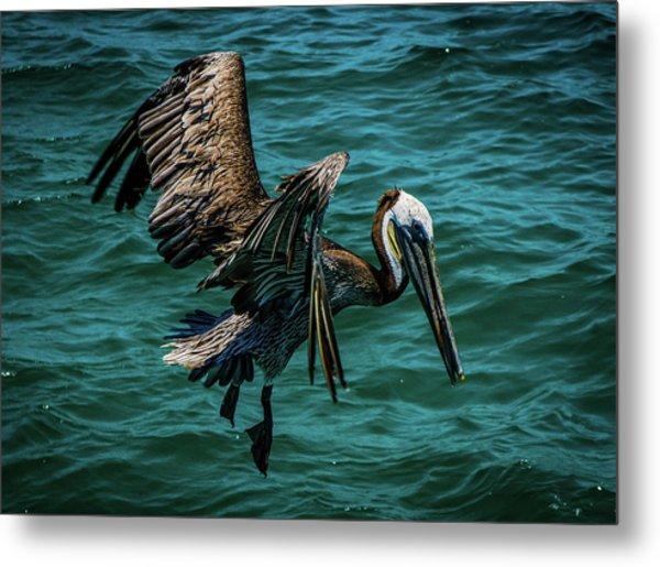 Pelican Glide Metal Print