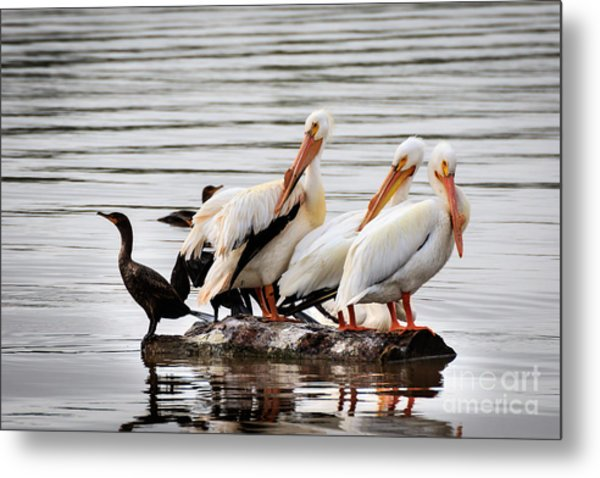 Pelicans And Cormorants Metal Print