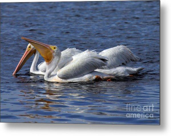 Pelicans Feeding Metal Print by Rick Mann