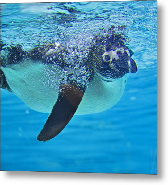 Penguin Dive Metal Print