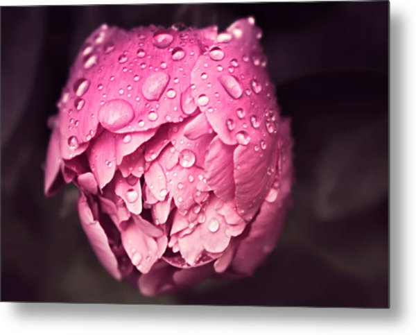 Peony In The Rain Metal Print
