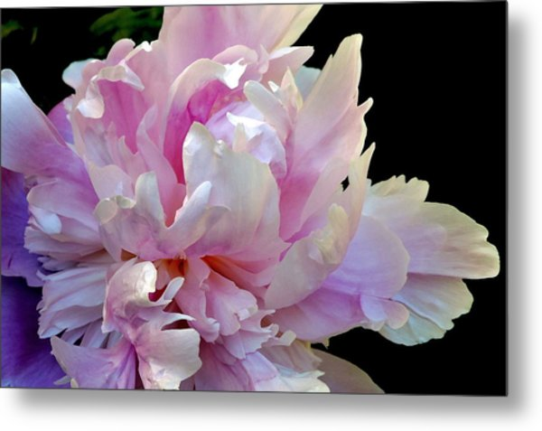 Peony On Black Metal Print
