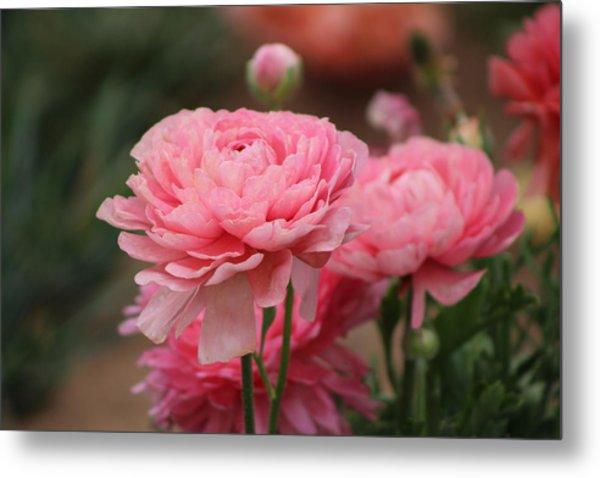 Peony Pink Ranunculus Closeup Metal Print