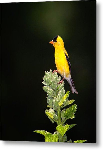 Perched American Goldfinch Metal Print
