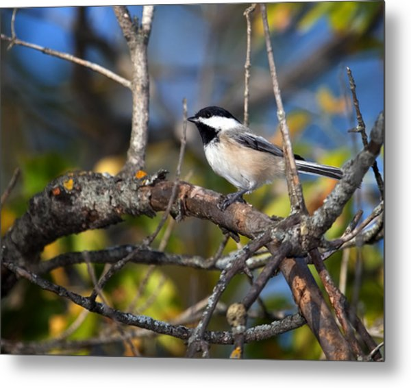 Perched Black-capped Chickadee Metal Print