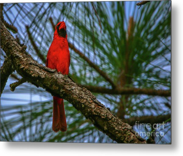 Metal Print featuring the photograph Perched Cardinal by Tom Claud