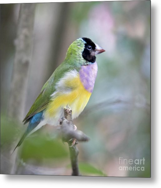 Perched Gouldian Finch Metal Print