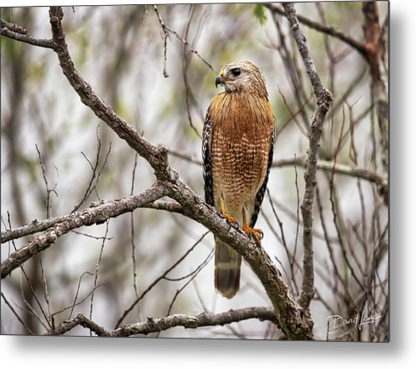 Metal Print featuring the photograph Perched Red Shouldered Hawk by David A Lane