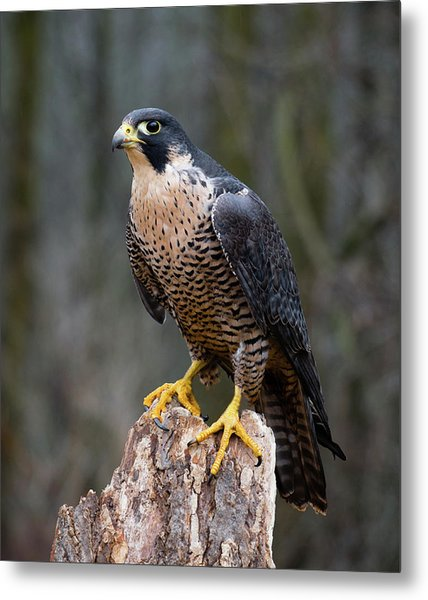 Perching Peregrine Metal Print